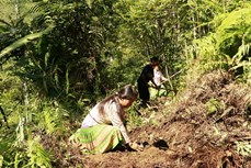 Lợi ích kép từ trồng Sơn Tra ở vùng cao Yên Bái