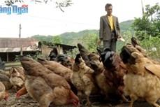 Hiệu quả từ sáng kiến chăn nuôi cho người nghèo ở huyện Sơn Tây