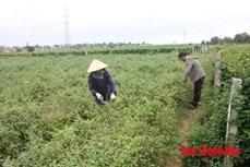 Trồng cây dược liệu - hướng khởi nghiệp mới của phụ nữ xứ Thanh