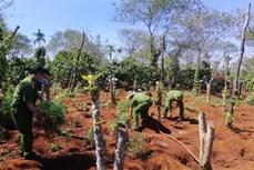 Đắk Lắk liên tiếp phát hiện các vụ trồng cần sa trái phép