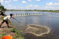 Kiên Giang nuôi tôm nước lợ theo hướng sản xuất an toàn