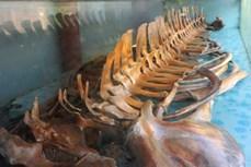 Độc đáo ngôi đền thờ bộ xương cá voi có kích thước lớn, còn nguyên vẹn ở xứ Thanh