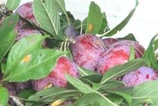 Phát triển cây mận đỏ góp phần xóa đói giảm nghèo ở huyện vùng cao Hoàng Su Phì
