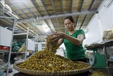 Nghề làm trà hoa cúc khô truyền thống ở Hưng Yên