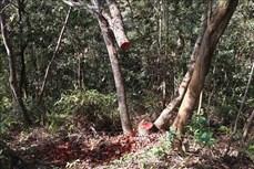 """Vụ vùng lõi rừng đặc dụng Mường Phăng (Điện Biên) bị """"rút ruột"""": Kiểm tra thực địa, phát hiện 173 cây gỗ bị cưa, chặt hạ"""