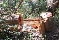 """Vụ vùng lõi rừng đặc dụng Mường Phăng (Điện Biên) bị """"rút ruột"""": Tạm đình chỉ công tác Giám đốc Ban Quản lý rừng Di tích lịch sử và Cảnh quan môi trường Mường Phăng"""