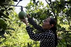 Chị Danh Thị Kim Ảnh - Người phụ nữ Khmer khởi nghiệp thành công với mô hình trồng bưởi da xanh