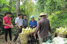 Thành công nhờ mô hình liên kết trồng tre Bát Độ tại Trấn Yên