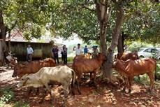 Bình Phước trao bò giống sinh sản cho hộ đồng bào dân tộc thiểu số nghèo