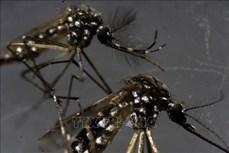 Thả muỗi biến đổi gene ra môi trường để ngăn ngừa các dịch bệnh do muỗi lây truyền