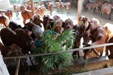 Nuôi bò giúp nông dân vùng hạn ở Bến Tre tăng thu nhập