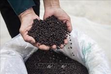 Tăng giá trị hồ tiêu theo hướng nông sản sạch ở huyện Giồng Riềng