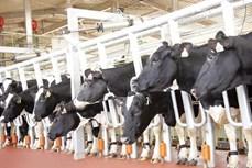 Khởi công Dự án chăn nuôi bò sữa tập trung lớn nhất Tây Nguyên