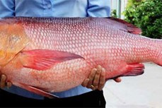 Cảnh báo sau vụ 10 người nhập viện nghi ngộ độc do ăn cá hồng ở Bình Thuận