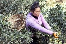 Chị Lò Thị Lan thu nhập hàng trăm triệu mỗi năm từ mô hình cây ăn quả trên đất dốc ở Sơn La