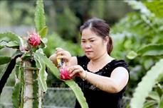 Sơn La: thu nhập cao nhờ liên kết trồng thanh long ruột đỏ