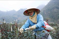 Vùng trồng hoa hồng ở Lai Châu chuẩn bị phục vụ Tết