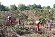 Làng mai Phú Hội vào Xuân