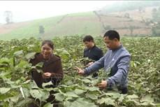 Trồng cây gai xanh - Hướng mới thoát nghèo của người dân huyện miền núi Cẩm Thủy