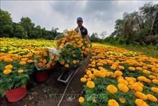 Tất bật đưa hoa, cây cảnh Chợ Lách ra thị trường phục vụ Tết