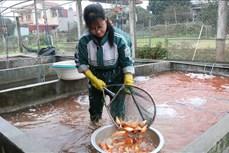 Làng nuôi cá chép đỏ Thủy Trầm nhộn nhịp cho ngày tiễn Táo quân về trời