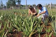 Hiệu quả từ mạnh dạn chuyển đổi cơ cấu cây trồng ở Châu Đức