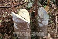 Phản hồi thông tin TTXVN: Tỉnh Điện Biên chỉ đạo làm rõ về vụ phá rừng ở Nậm Pồ