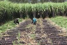 Nông dân Vũng Tàu tăng thu nhập nhờ trồng mía tím