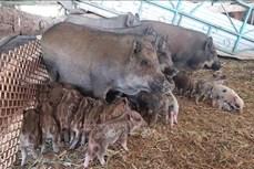 Hiệu quả kinh tế cao từ mô hình nuôi lợn sọc dưa