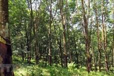 Hàng trăm ha cao su mọc trên đất rừng tại Gia Lai - trách nhiệm thuộc về ai?
