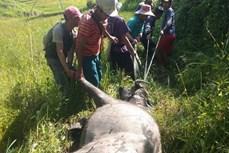 Trâu, bò chết hàng loạt tại Kon Tum do bệnh tụ huyết trùng