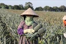 Mùa dứa ngọt lại về ở Ninh Bình