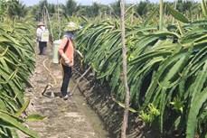 Tiền Giang phát triển, mở rộng vườn cây ăn quả đặc sản ven biển