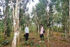 Quảng Trị gìn giữ những vườn chè cổ thụ xứ Cùa