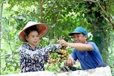Nhãn Sông Mã - Sơn La vươn ra thị trường quốc tế