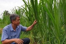 Trà Vinh chuyển hơn 650 ha đất mía sang trồng cỏ nuôi bò cho thu nhập cao