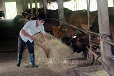 Khó khăn trong phát triển chăn nuôi bò thịt, bò sinh sản ở Hà Nam