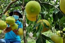 Giúp nông dân tiêu thụ bưởi Phúc Trạch