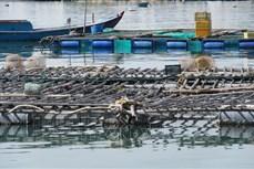 Phát triển các mô hình nuôi biển cho hiệu quả kinh tế cao ở Ninh Thuận
