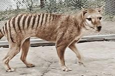 """""""Hồi sinh"""" loài hổ Tasmania qua những thước phim màu"""