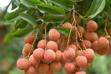 澳大利亚——越南新鲜荔枝潜力巨大的出口市场