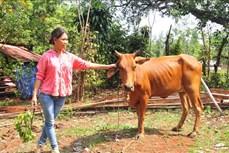 Nuôi dê, nuôi bò giúp dân vùng biên giới huyện Lộc Ninh thoát nghèo