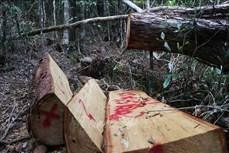 Áp lực giữ rừng ở Tây Nguyên (Bài 2)