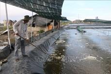 Hiệu quả từ mô hình chuyển đổi từ ruộng muối sang nuôi tôm ở Bà Rịa-Vũng Tàu