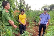 Đắk Lắk liên tiếp phát hiện các vụ trồng trái phép cây cần sa