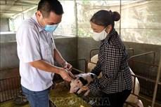 Hỗ trợ nông dân và doanh nghiệp tái đàn lợn hiệu quả