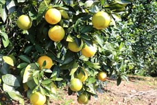 Trồng cam giúp người dân huyện miền núi Như Xuân giảm nghèo