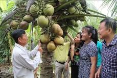 Đặc sản dừa sáp Cầu Kè được chứng nhận VietGAP