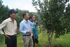 Triển vọng cây mắc ca ở huyện vùng cao Quảng Ngãi