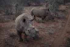 Botswana cứu tê giác bằng phương pháp cưa bỏ sừng